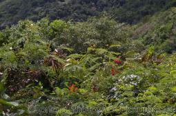 Tropical foliage in Tortola.jpg